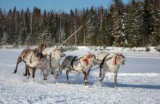 День оленевода – праздник длиной в 8 недель
